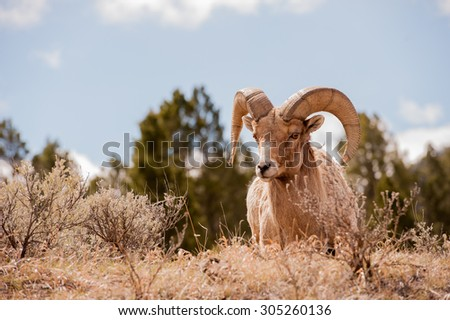 A ram big horn sheep as he approaches photographer over a hill; blue sky and clouds in the background; landscape layout - stock photo