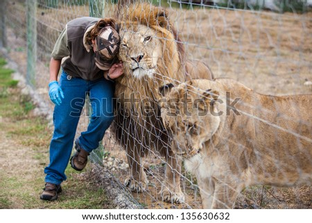 a ranger rubbing herself through the fence against the lion while the lioness awaits her turn - stock photo