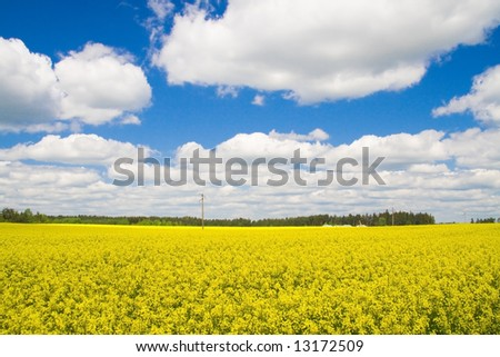 A rapeseed field in the sunshine