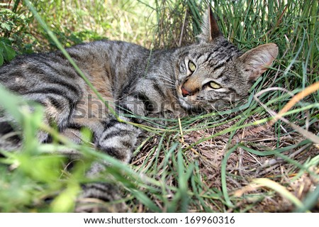 A rare African Wild Cat escapes the midday heat in a game reserve in South Africa. - stock photo