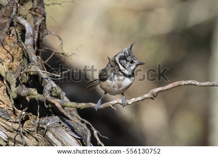 A rare Crested Tit (Lophophanes cristatus) sitting on a thin tree root in the Abernathy forest.
