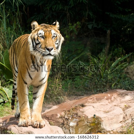 A rare endangered tiger looking for prey - stock photo