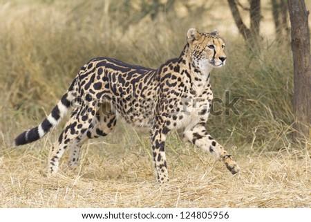 A rare female King Cheetah (Acinonyx jubatus) in South Africa, running through the bushveld - stock photo