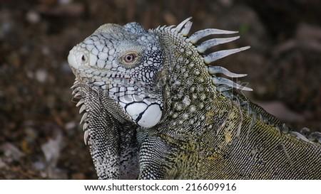 A rare green iguana. Ecuador - stock photo