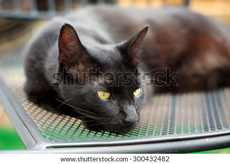 A rare Havana Brown cat is resting on a chair outdoors, shallow depth of field. - stock photo