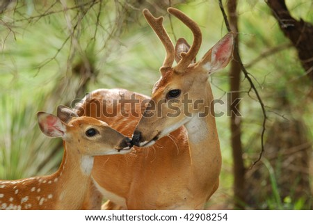A rare moment of bonding in nature as  White tail buck touches noses with his fawn. Beautiful back lighting. - stock photo