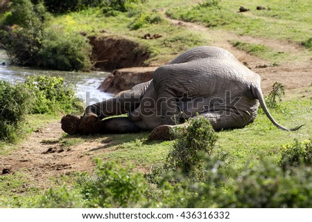 A rare photo of an African elephant resting or sleeping near a watering hole. He got up after a short rest. Taken on safari in South Africa. - stock photo