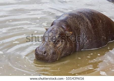A rare pygmy hippopotamus (Choeropsis liberiensis) partially submerged - stock photo