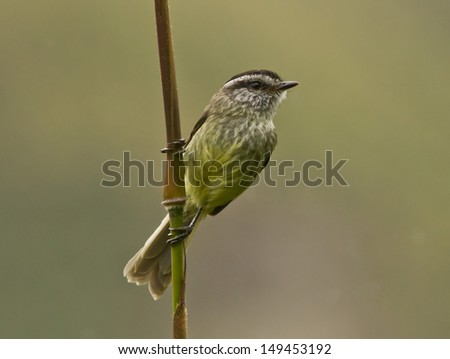 A rare Unstreaked Tit-tyrant  perching on bamboo branch in high Andes mountains. This bird, flycatcher is endemic to Peru. The scientific name is Anairetes agraphia. - stock photo