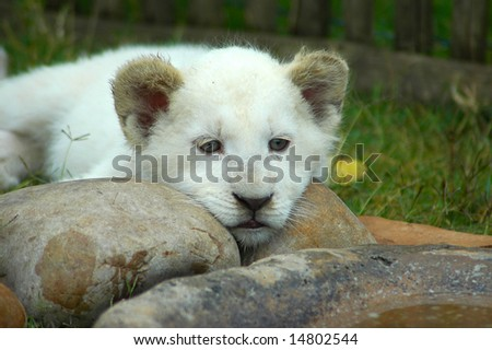 A rare white lion cub head portrait watching other white lions in a game park in South Africa - stock photo