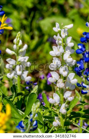 A RARE WHITE Variety of the Famous Texas Bluebonnet (Lupinus texensis) Wildflowers.  Found in a Texas Field. - stock photo