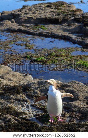 A rare yellow-eyed penguin in the wilderness of coastal Otago Region, New Zealand - stock photo