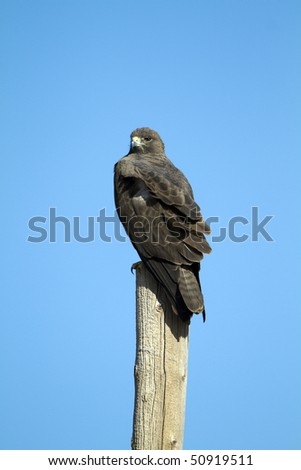 A rare Zone-tailed Hawk perches on a post in southern Arizona - stock photo