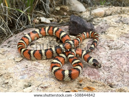 A rarely seen species of snake, Utah Milk Snake, Lampropeltis (triangulum) gentilis (taylori), coral snake mimicking colors