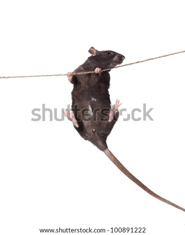a rat crawling on a rope. rat clutching at rope on white background - stock photo