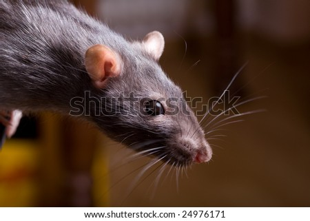 a rat searching for food. Close-up shot.