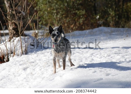 A rat terrier, Queensland heeler cross stands in the snowy cattle pasture on a cold, December day. - stock photo