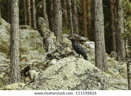 A raven in a forest, Lapland, Sweden