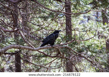 A Raven perked in a pine tree in Yosemite National Park, California. - stock photo