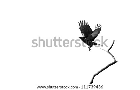 A raven taking flight isolated on  white  with copy space. - stock photo