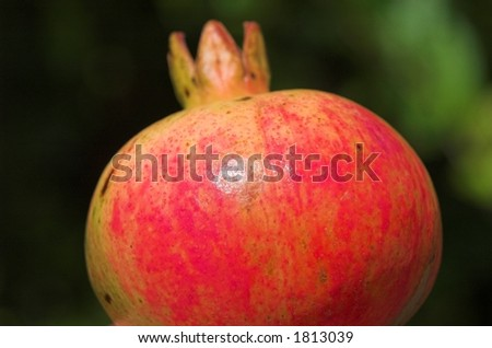 a ready ripe pomegranate to eat - stock photo
