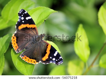 A red admiral butterfly perched on a pant leaf.