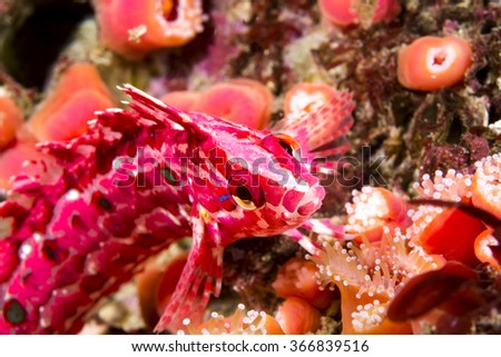 A red and pink crevice kelpfish on a color reef in California's Channel Islands poses briefly for a picture before it darts away into its algae hiding place. - stock photo