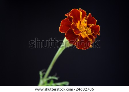 A red and yellow colored flower - stock photo