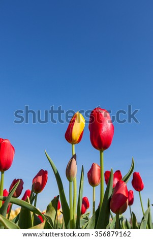 A red and yellow tulip flowers next to solid red tulips in a farmers field with a blue sky background. - stock photo