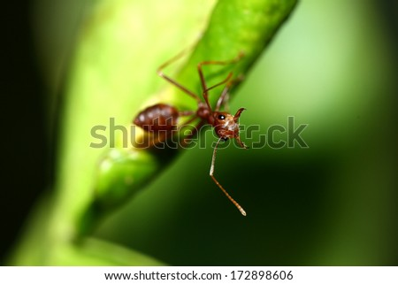 A red ant on leaf - stock photo