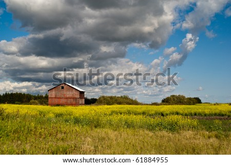 A red barn standing in a field of yellow canola flowers - stock photo