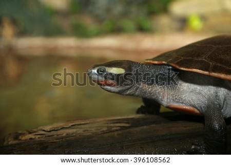 A red-bellied short-necked turtle (Emydura subglobosa) close-up.