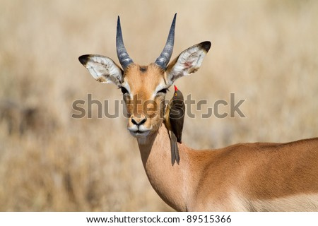 A red-billed oxpecker looks for ticks in a young impala ram's ear - stock photo