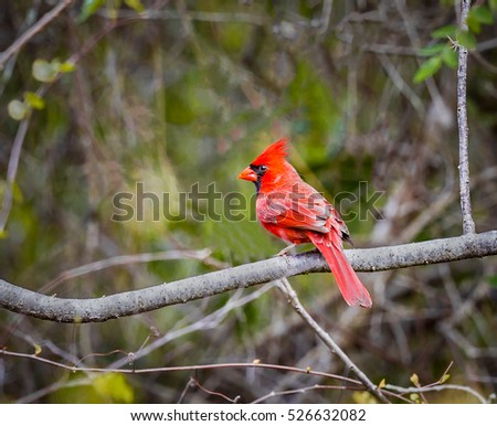A Red Bird, The Northern Cardinal Male In Florida, Cardinalis cardinalis