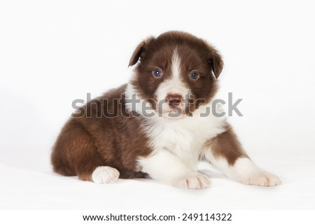 A red Border Collie puppy sitting in studio - stock photo