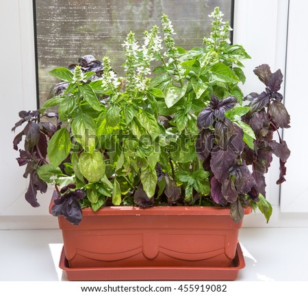 A red-brown flowerpot with blooming basil on a windowsill. Everyone can easily grow basil himself at home and one would have fresh basil anytime. - stock photo
