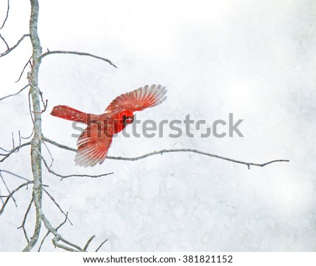 A red Cardinal flies off a bare tree branch in a snowstorm. - stock photo