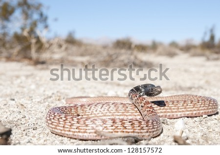 A Red Coachwhip (Red Racer) in the Southern California desert. - stock photo