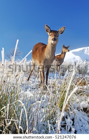 A Red Deer in a snow covered winter landscape on a sunny day.