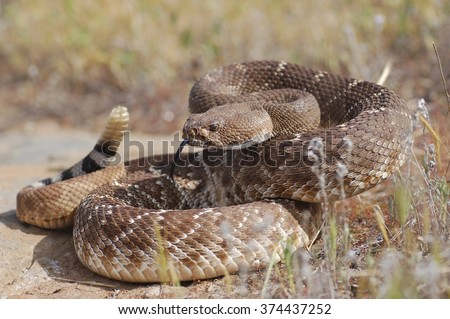 A red diamond rattlesnake (Crotalus ruber) in a defensive posture.   - stock photo