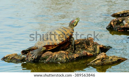 A Red Eared Slider Turtle, (Trachemys scripta elegans), on a log, basking in the sun. - stock photo