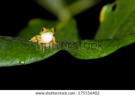 A red eye tree frog sits on a wet leaf with its throat puffed out at night in the jungle of Belize. - stock photo
