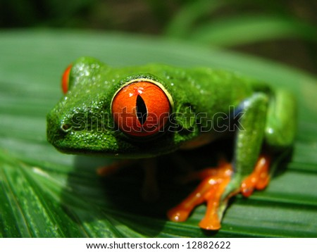 A Red-eyed Leaf Frog in Costa Rica - stock photo