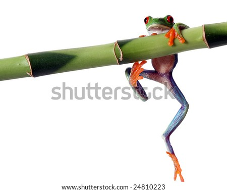 A red eyed tree frog, isolated on white, slips from a bamboo shoot - stock photo