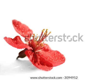 a red flower - petal on a white background with water drops - stock photo