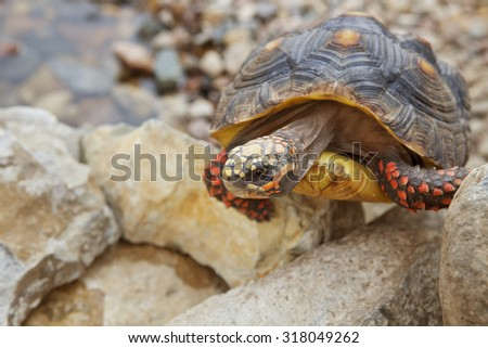 A Red-Footed Tortoise climbing up some rock.  Tortoise has some pyramiding.