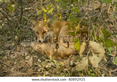 A red fox  is in the taiga of the Seashore region,  Russia