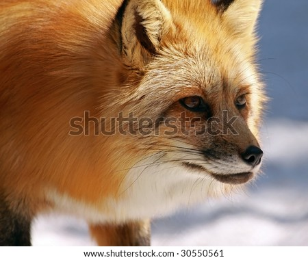 A red fox (vulpes vulpes) stalks its prey - stock photo