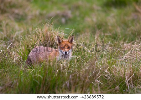 A Red Fox (Vulpes vulpes) standing in grassland looking at the camera, East Yorkshire, UK - stock photo