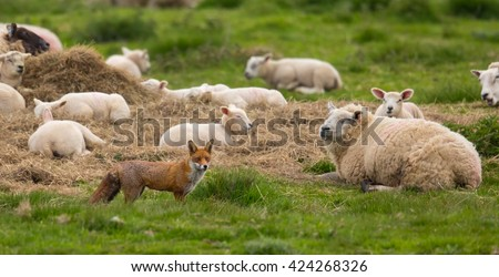 A Red Fox (Vulpes vulpes) standing in pasture field in front of several partial focused sheep that are lying down, East Yorkshire, UK - stock photo
